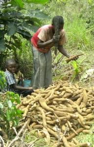 Femme coupant le manioc
